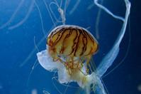 Tiger Jellyfish