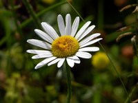 Daisy in the wild
