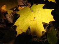 Gatineau Park Maple Leaves 8