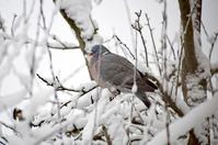 Pigeon in winter