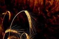 Glowing wheat