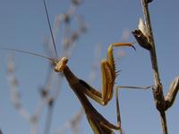 praying mantis 7