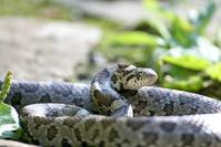 Eastern Milk Snake 1