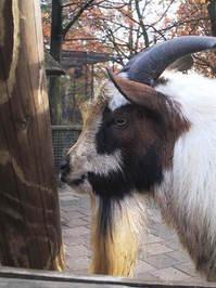 goat nr2