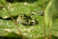 Frog in the garden in Ammerzoden