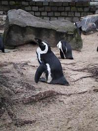 penguin in zoo 1
