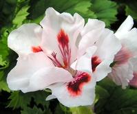 White with Dark purple/pink flowers