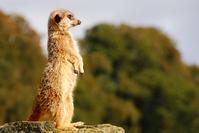 meercat sentry