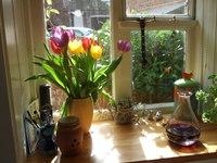 Tulips on the windowsill