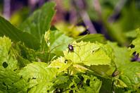 Beetle enjoying a grape leaf