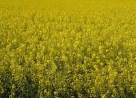 yellow_ 1