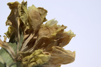 Dead Flower 1
