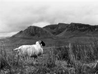 Sheep - Scottish Blackface