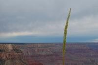 grand canyon plant