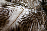 ostrich feathers 2