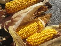 Dried Corn on Cob