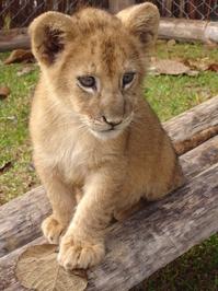 Litle Lion