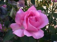 Una rosa rosa - a rose rose
