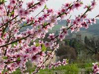 Peach flowers