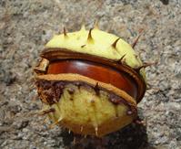 horse-chestnut fruit