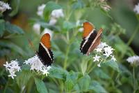 Pair of Brown Tip Butterflies