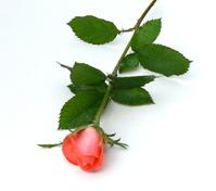 Pink Rose 30