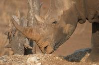 Rhinoceros 21