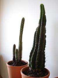 Cactos / Cactus