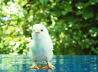 Chirita the Chicken 2