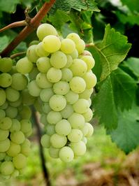 grape - wine