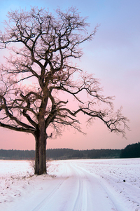 Old Oak Tree at Winter Sunset