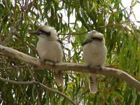 Kookaburras sitting in Gum Tree