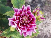pink flower dahlia