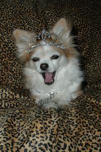 Chihuahua with tiara