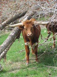 Longhorn Cattle 2