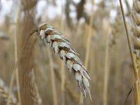 barley - shot 2