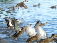 A blur of ducks