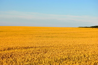 Golden field of Bornholm