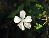 White hibiscus flower on the bush