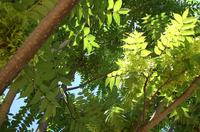 chinese dragon tree 1