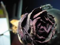 Dirty Dead Rose 2