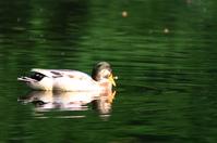 "duck in ""green"" water"