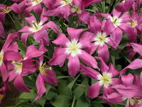 Unususal tulip colour