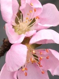 The Spring Peach Tree 4