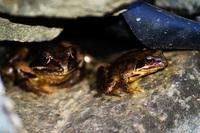Frogs Graden Pont