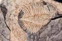 trilobite tobermory ontario canada 7419.JP