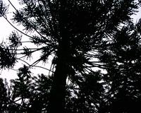 Dark Pine