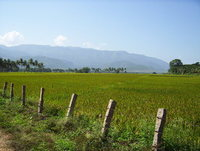 Indian Rice Fields