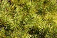 Fir Tree Photo Files