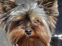 yorkie dog 3